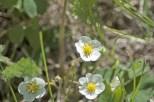 White Flowers (3)