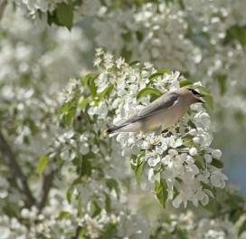 Bird in White Flowered Tree