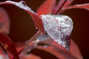 Rain Drops, Single Red Leaf