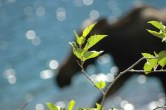Moose with Leaves