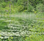 Woods Lake, Lilly Pads