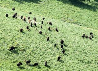 Buffalo Family Group