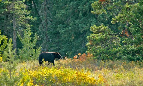 Bear, Fall Colors, Waterton