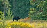 Bear Portrait in Fall