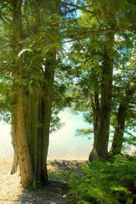 Cedars in Glacier