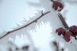 IceBerries5