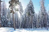 Winter, Big Trees, Sunrise, Sun Star Bursting Through Trees, Snow