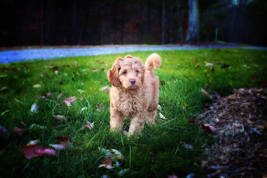 Bringing Home My Mini Australian Labradoodle Puppy: What Do I Need to Know?