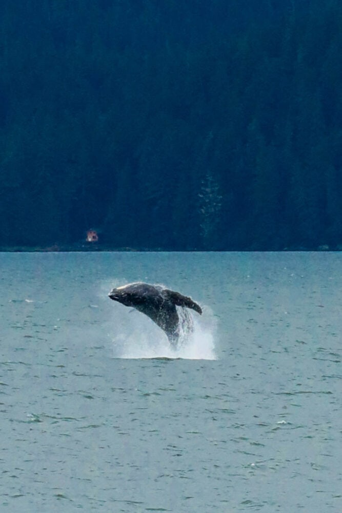 Picture of whale jumping out of water
