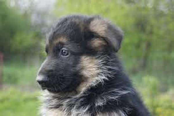 allergies in german shepherd puppies