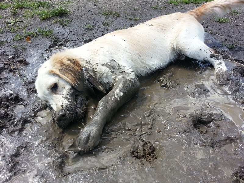 dog in a mud puddle