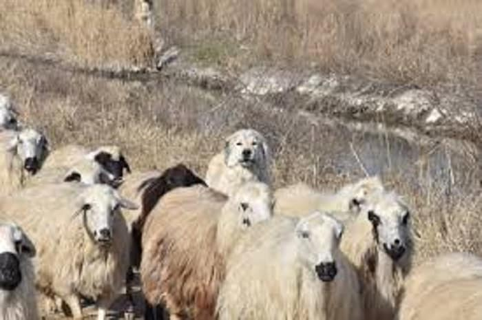 dog guarding sheeps