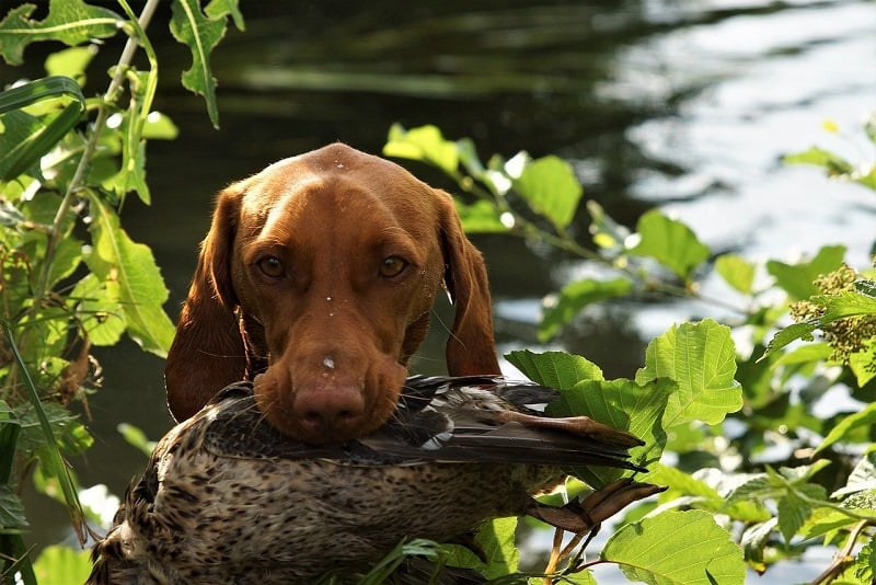 hunting qualities of a dog