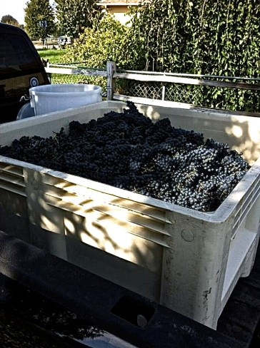 Miracles Vineyard Petit Verdot picked the 19th of October 2014, destemmed and crushed the same day.