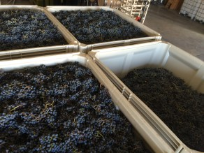 Harvest bins of Careener' and Cabernet Sauvignon