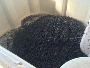 Black Syrah grape skins with pale juice in a fermentation bin.
