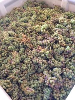 Orange Muscat grapes from Lonesome Springs Vineyard.