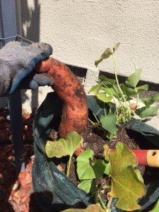 Sweet Potato Harvest, Digging Sweet Potatoes Up