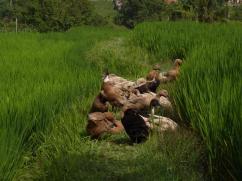 Les bébêtes des rizières