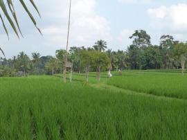 Rizières d'Ubud