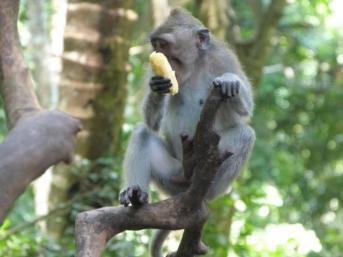 Macaque balinais