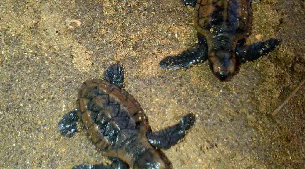 Jamaican Sea Turtles