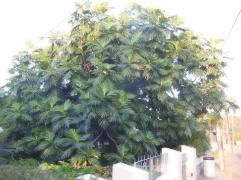 Breadfruit Tree Jamaica