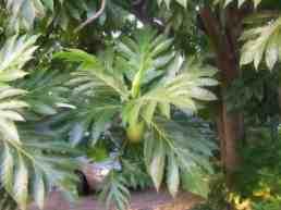 Breadfruit on Tree Jamaica