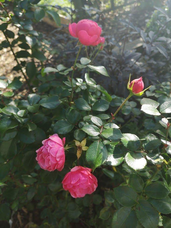 rose pomponella
