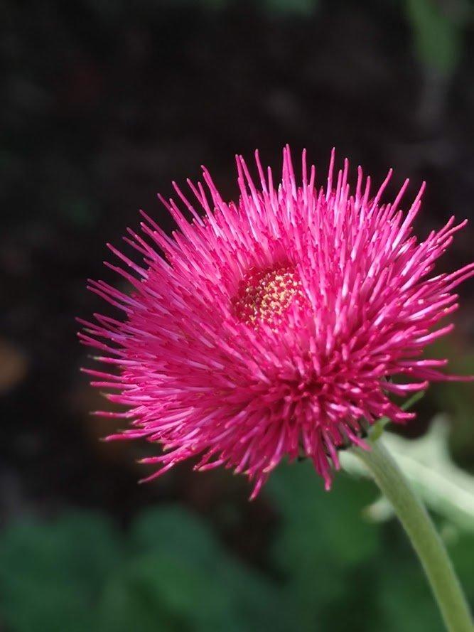 Cirsium Atropurpurea