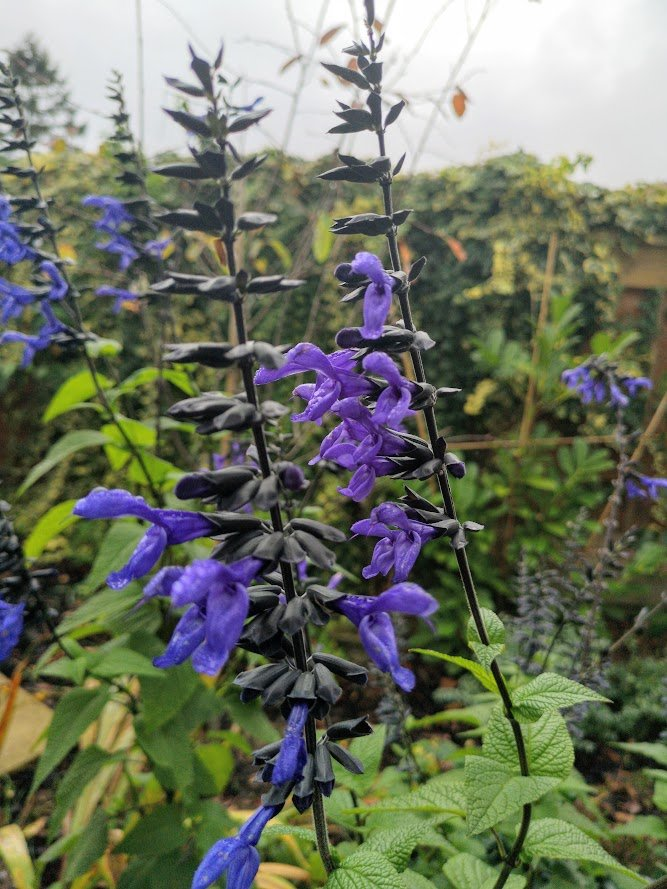 Black Stem Salvia
