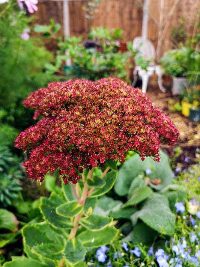Sedum Indian Chief