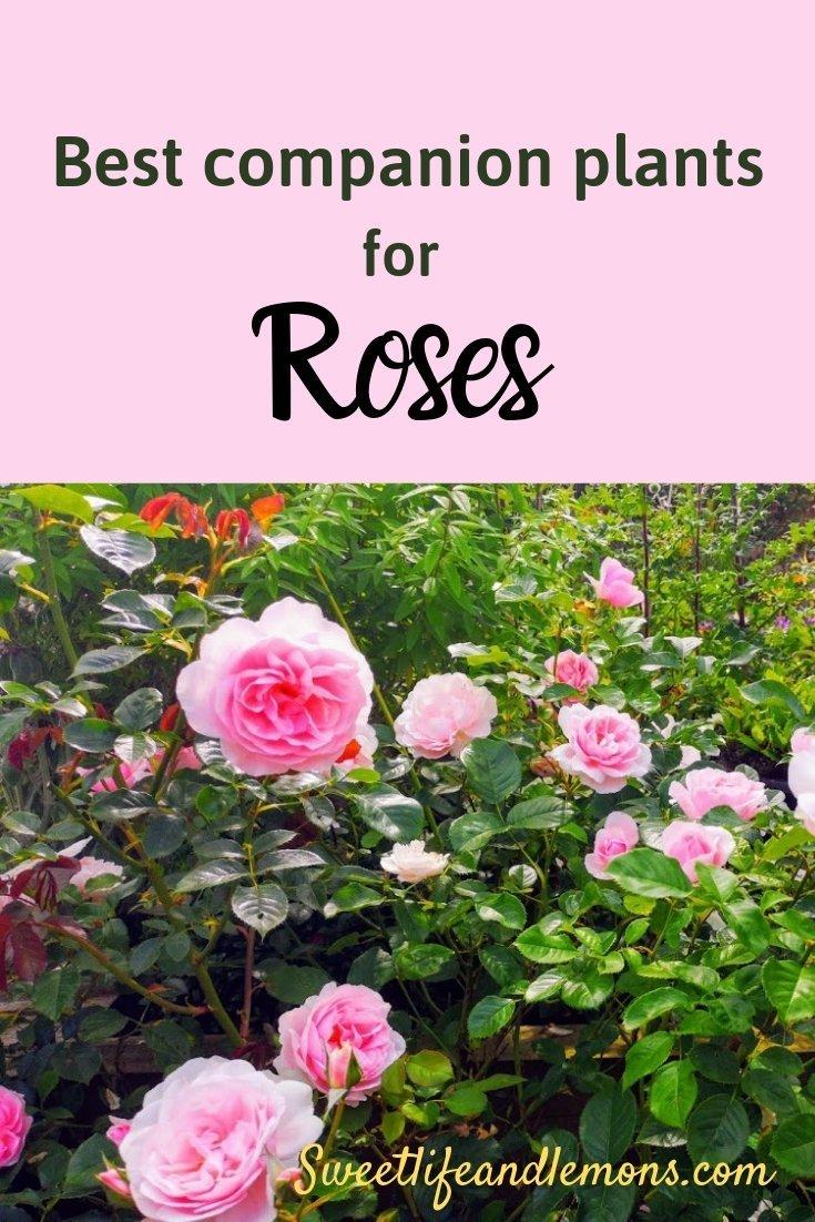 Beautiful Companion Plants For Roses Sweet Life And Lemons