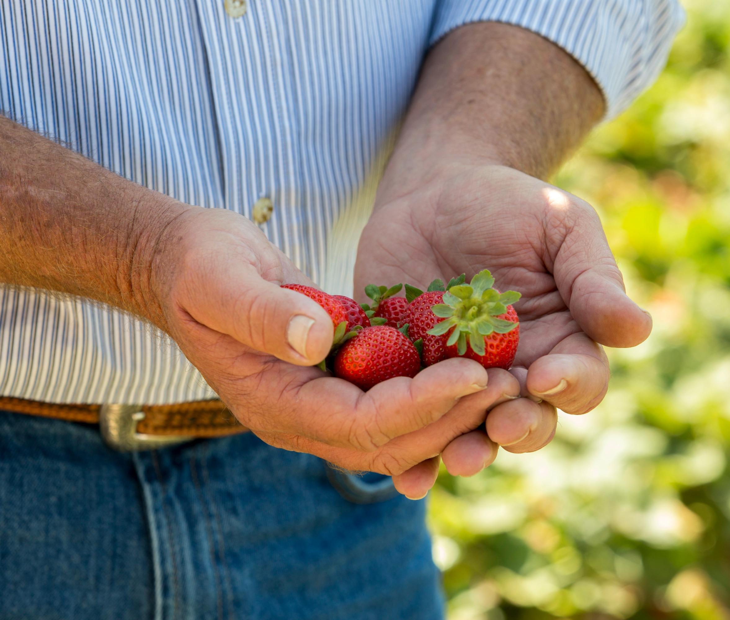 SANTA MARIA, Calif., June 24, 2015. California Strawberry Commission Blogger Field Tour in SANTA MARIA Calif., June 24, 2015. Photo by Robert Durell