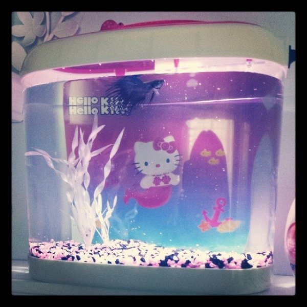 Hello Kitty aquarium and Beta fish