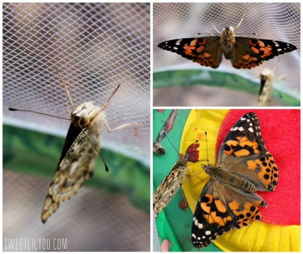 Butterflies inside the Insect Lore butterfly  habitat.