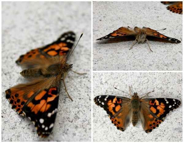 Close up photos of painted lady butterflies