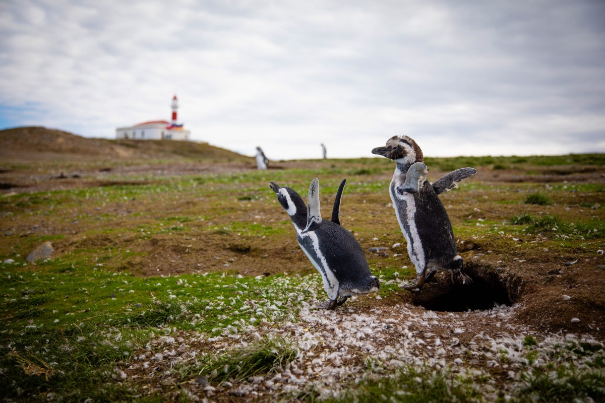 Penguins and lighthouse on Magdalena Island near Punta Arenas
