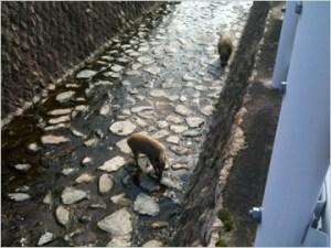 神戸岡本で見た野生のイノシシ