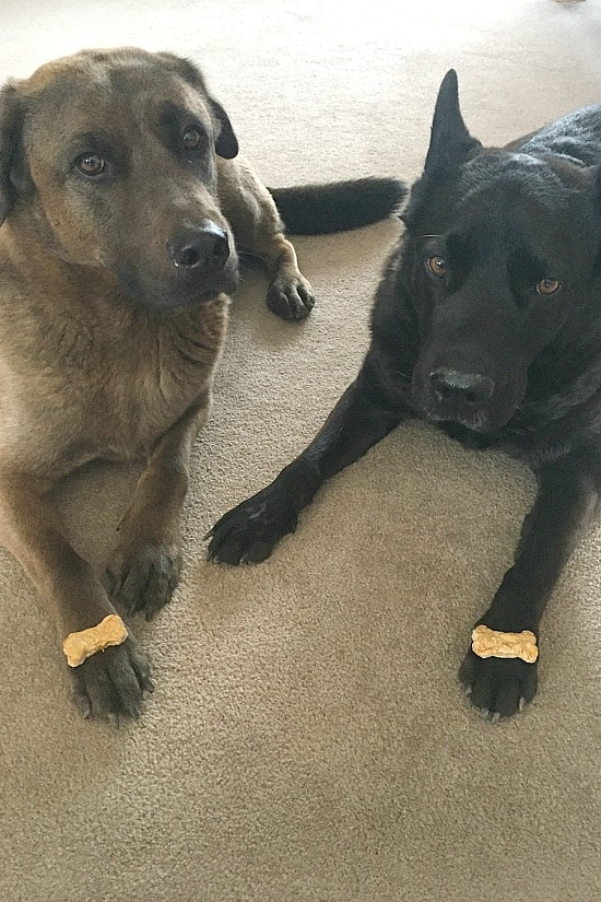 Charlie and Baxter waiting to eat their dog cookies.