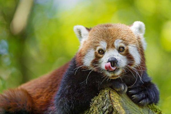 Кем является родственник малой панды 4 буквы?