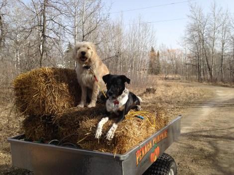 Helping me haul bales for strawbale gardening.