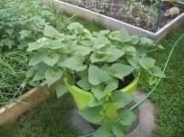 http://www.gardeningknowhow.com/edible/vegetables/sweet-potato/sweet-potato-container-crops.htm
