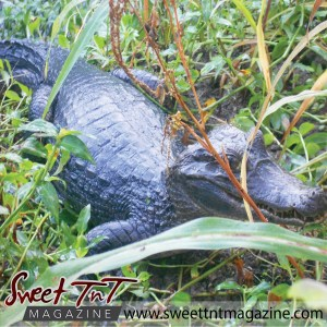 Caiman in the backyard in sweet T&T for Sweet TnT Magazine, Culturama Publishing Company, for news in Trinidad, in Port of Spain, Trinidad and Tobago, with positive how to photography.
