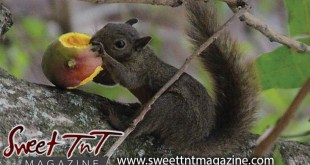 Squirrel eats julie mango on tree at Botanical Gardens, Port of Spain, Sweet T&T, Sweet TnT, Trinidad and Tobago, Trini, vacation, travel