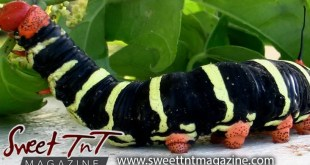 Caterpillar black yellow red and orange on leaves before turning to butterfly by Nadia Ali in Sweet T&T, Sweet TnT Magazine, Trinidad and Tobago, Trini, vacation, travel