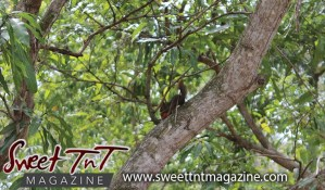 Squirrel on tree eating Julie mango at Botanical Gardens, Port of Spain, Sweet T&T, Sweet TnT, Trinidad and Tobago, Trini, vacation, travel
