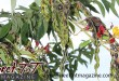 Pigeon peas plant in garden in Aranguez for article grow your own food in Sweet T&T, Sweet TnT, Trinidad and Tobago, Trini, vacation, travel