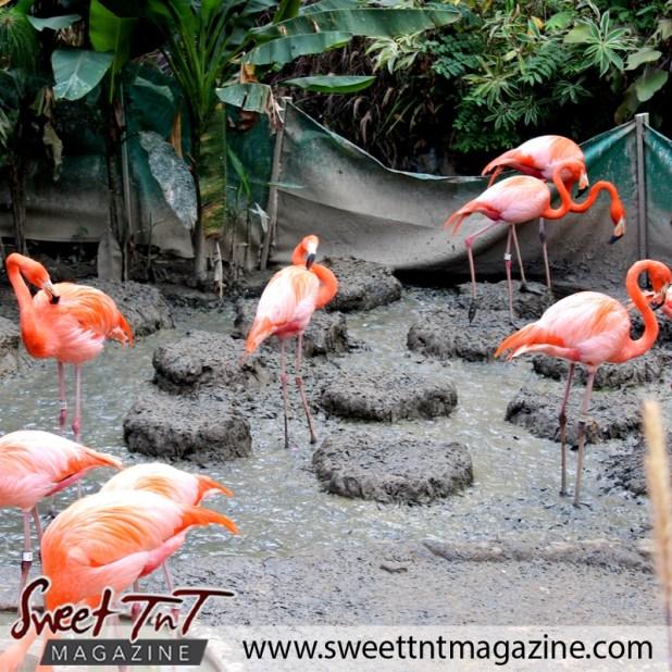 Zoo flamingoes