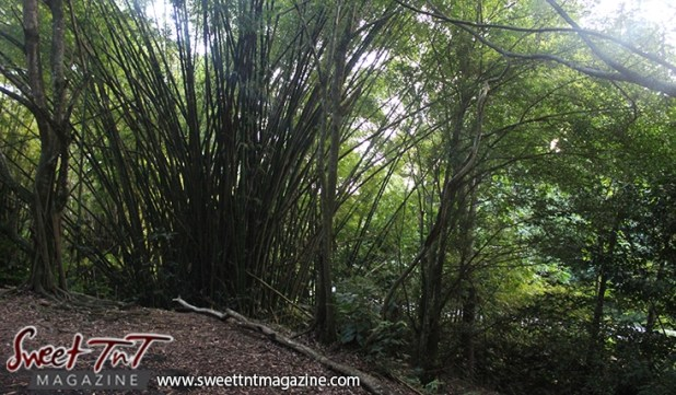 Bamboo patch on Lady Chancellor Hill Port of Spain for story original outdoor gym in Sweet T&T, Sweet TnT, Trinidad and Tobago, Trini, vacation, travel